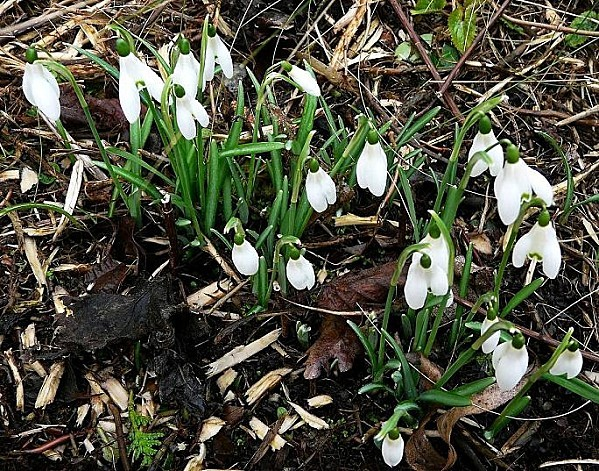Perce-neige-21-02-10--006.jpg