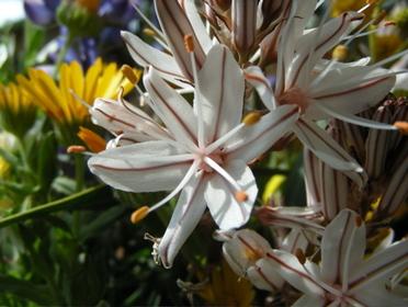 L'asphodèle ( fleur )