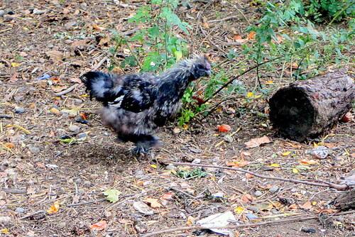 Les 2 petites poules !