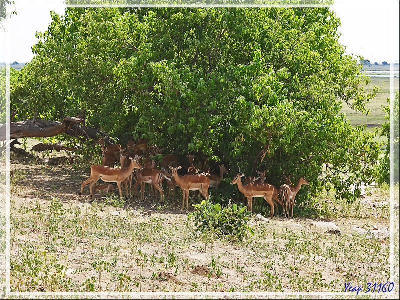 Impalas (Aepyceros melampus) - Safari terrestre - Parc National de Chobe - Botswana