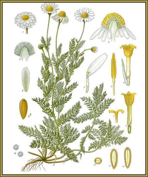Vertus médicinales des plantes sauvages : Camomille romaine
