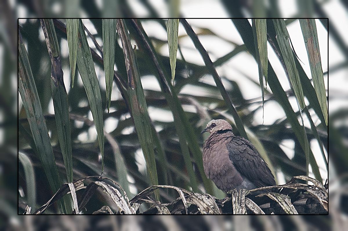 Pigeon et tourterelle
