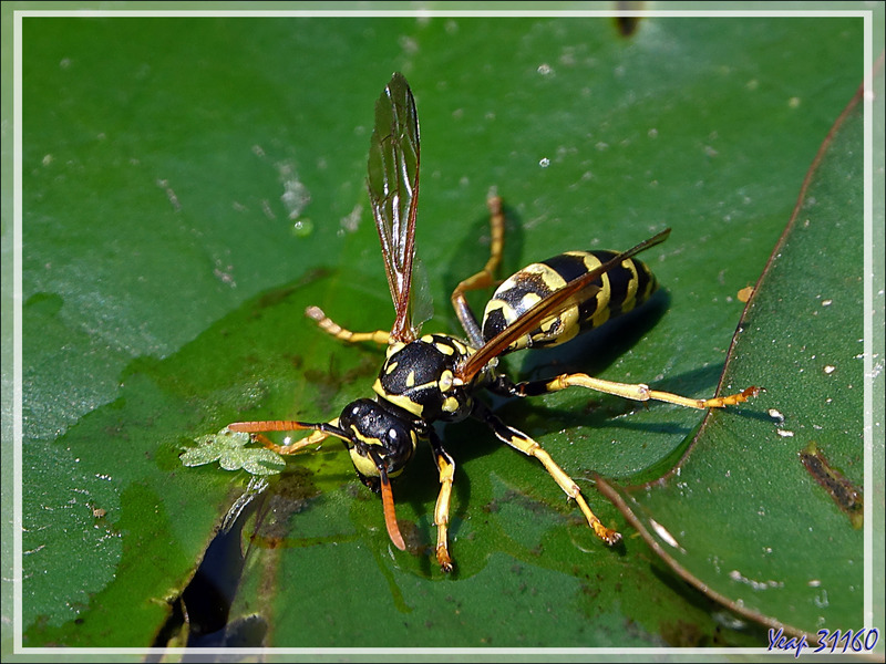 Guêpe Poliste gaulois femelle (Polistes dominula) - Lartigau - Milhas - 31