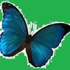 papillon82