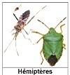 Les hémiptères