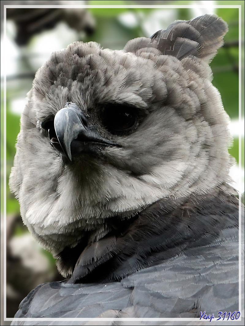 Aigle Harpie féroce, Harpy Eagle (Harpia harpyja) - Parque das Aves - Foz do Iguaçu - Brésil