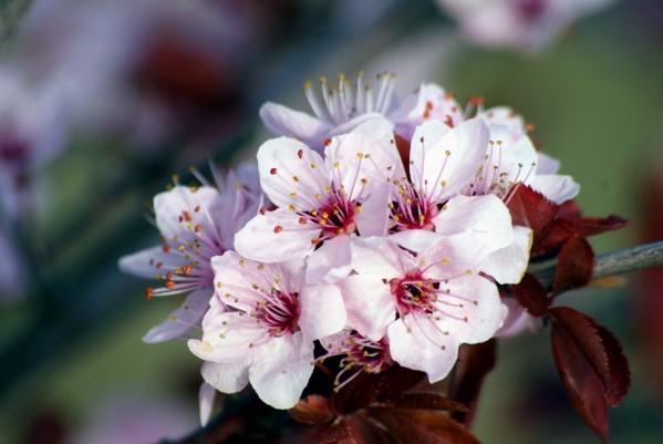 Prunus 9967