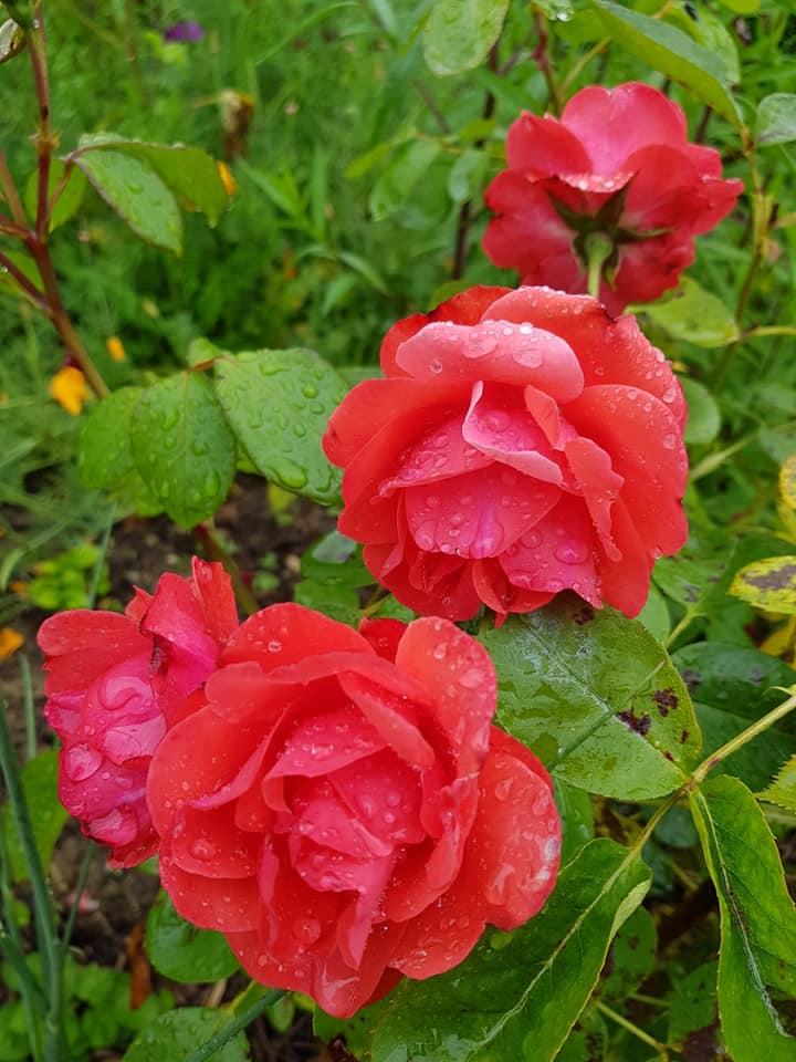 Mes fleurs ce matin