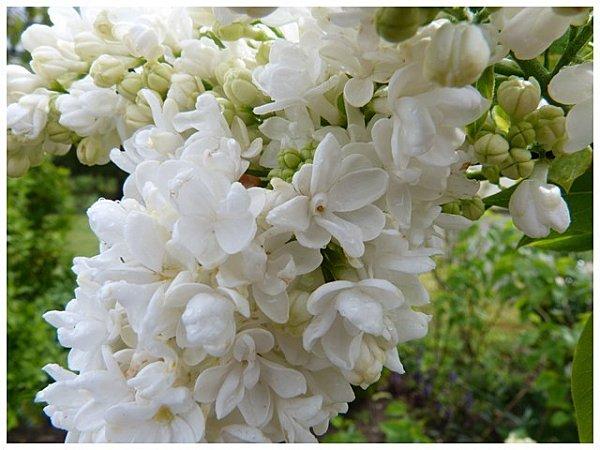 lilas-blanc.jpg