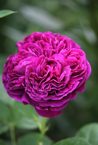 rose pourpre Falstaff de David Austin