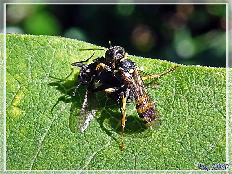"""Le repas de la guêpe solitaire """"Melline des champs"""", Field digger-wasp (Mellinus arvensis) - Lartigau - Milhas - 31"""
