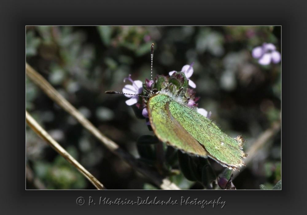 L'argus Vert, ou la thécla de la Ronce