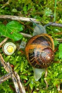 Helix Aspersa Aspersa ou Escargot Petit-Gris avec Escargot des bois