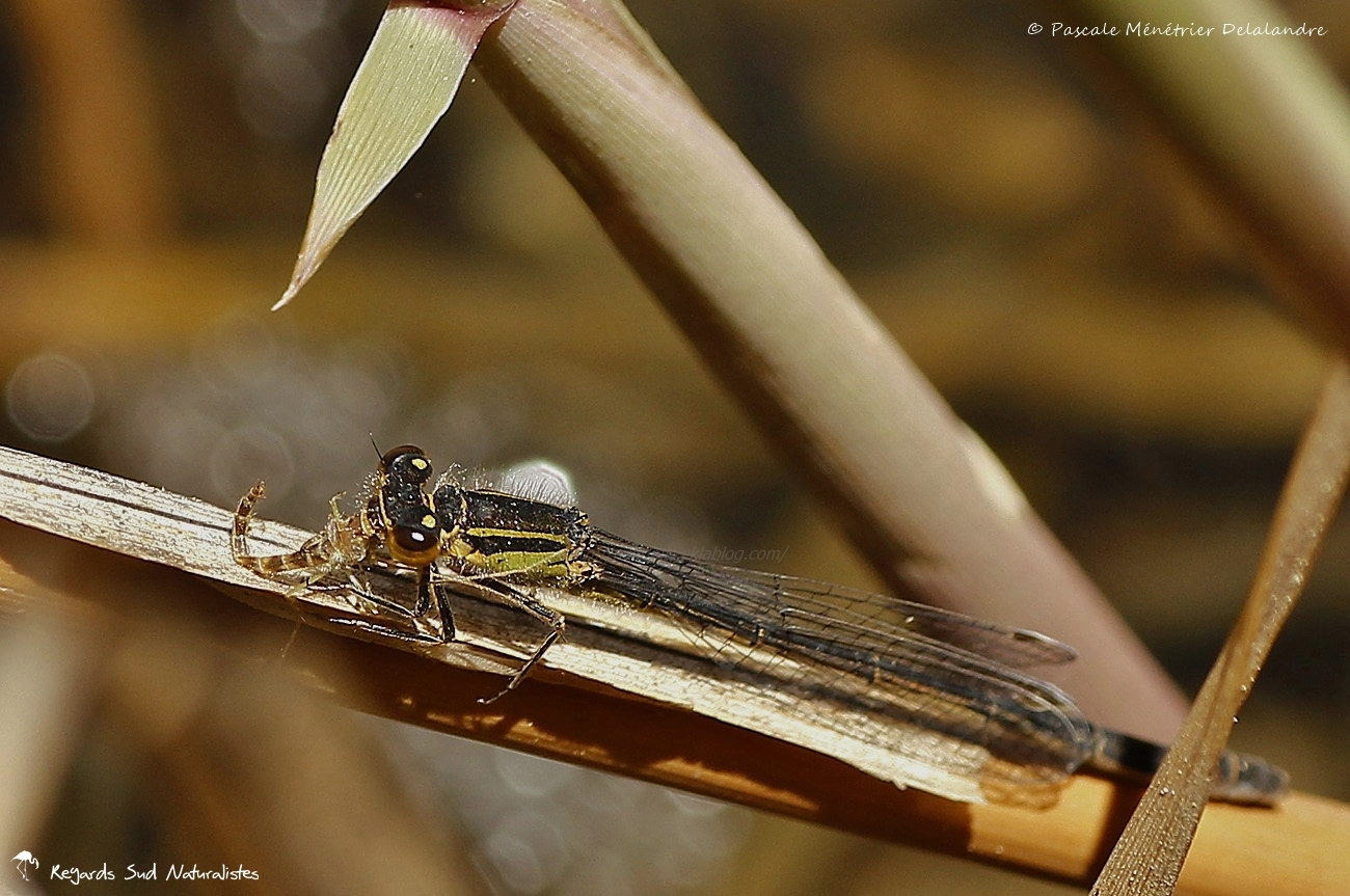 Ischnure élégante ♀ mature de type B (Ischnura elegans)