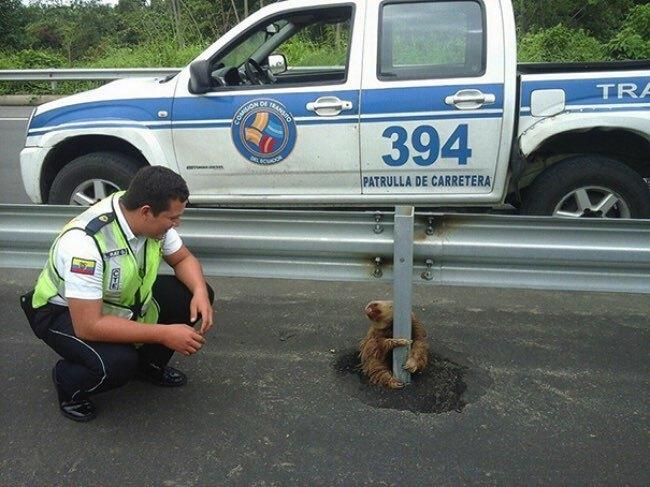 equateur paresseux animal autoroute police 2 - Coincé sur l'Autoroute, ce Paresseux va Etre Sauvé par un Policier