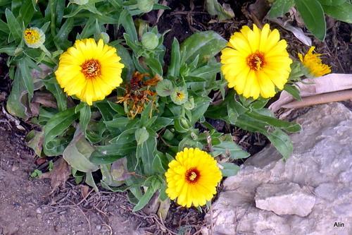 Pied de souci aux fleurs jaunes
