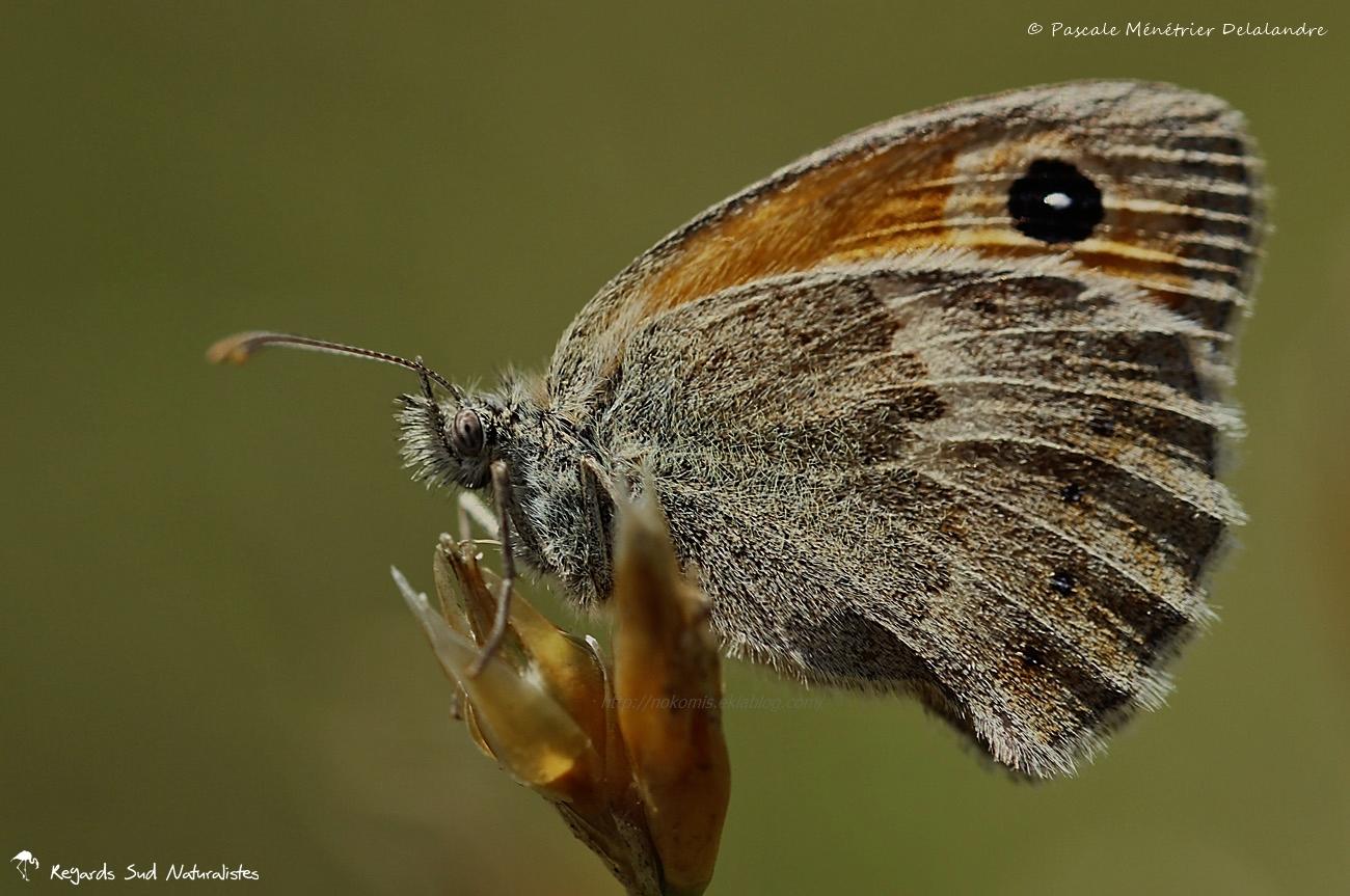 Le Procris (Coenonympha pamphilus) - Nymphalidae de la sous-famille des Satyrinae