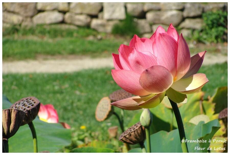 Lotus d'Orient