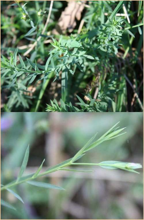 Vertus médicinales des plantes sauvages : Lin Sauvage