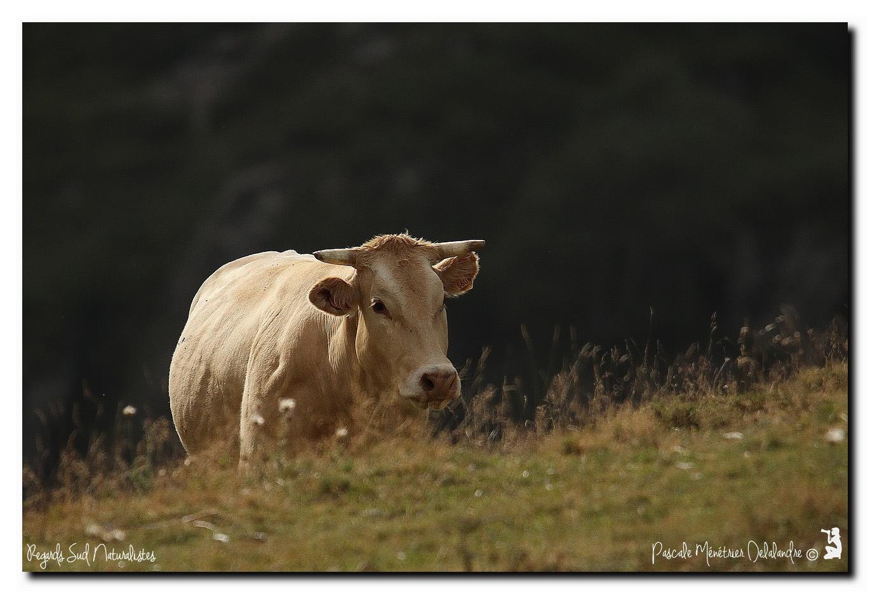 Vaches Lourdaises en Hautes-Pyrénées