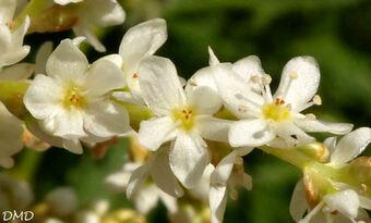 Polygonum alpinum - Persicaria alpina  -  renouée des Alpes