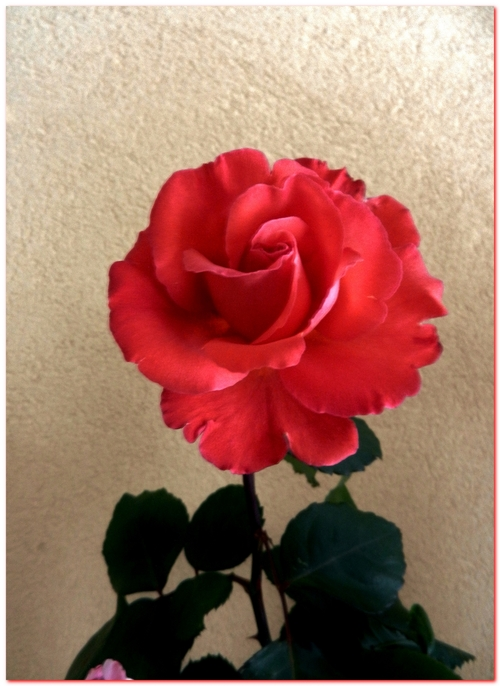 les dernieres roses