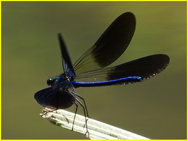 La petite libellule