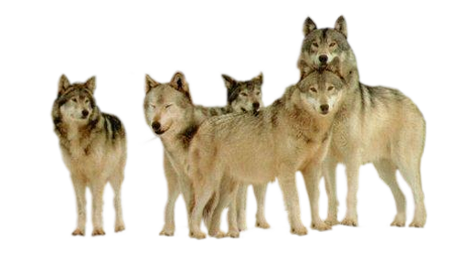 Le monde des Loups défi pour mon amie Capucine !