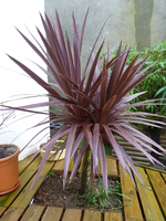 cordyline australis purpurea - année 2014