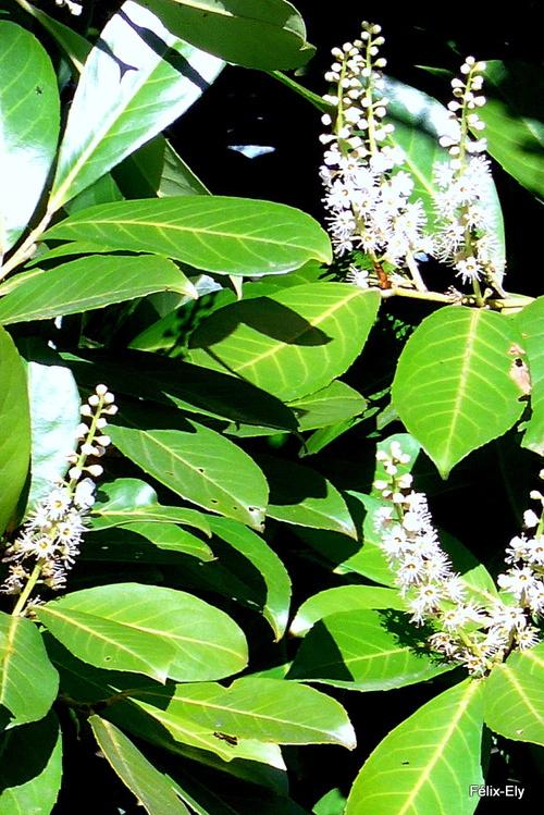 Des fleurs du laurier cerise