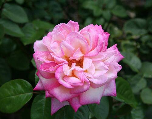 Les Roses de Warren : Reine des Elfes