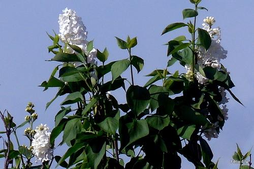 Les lilas sont en fleur