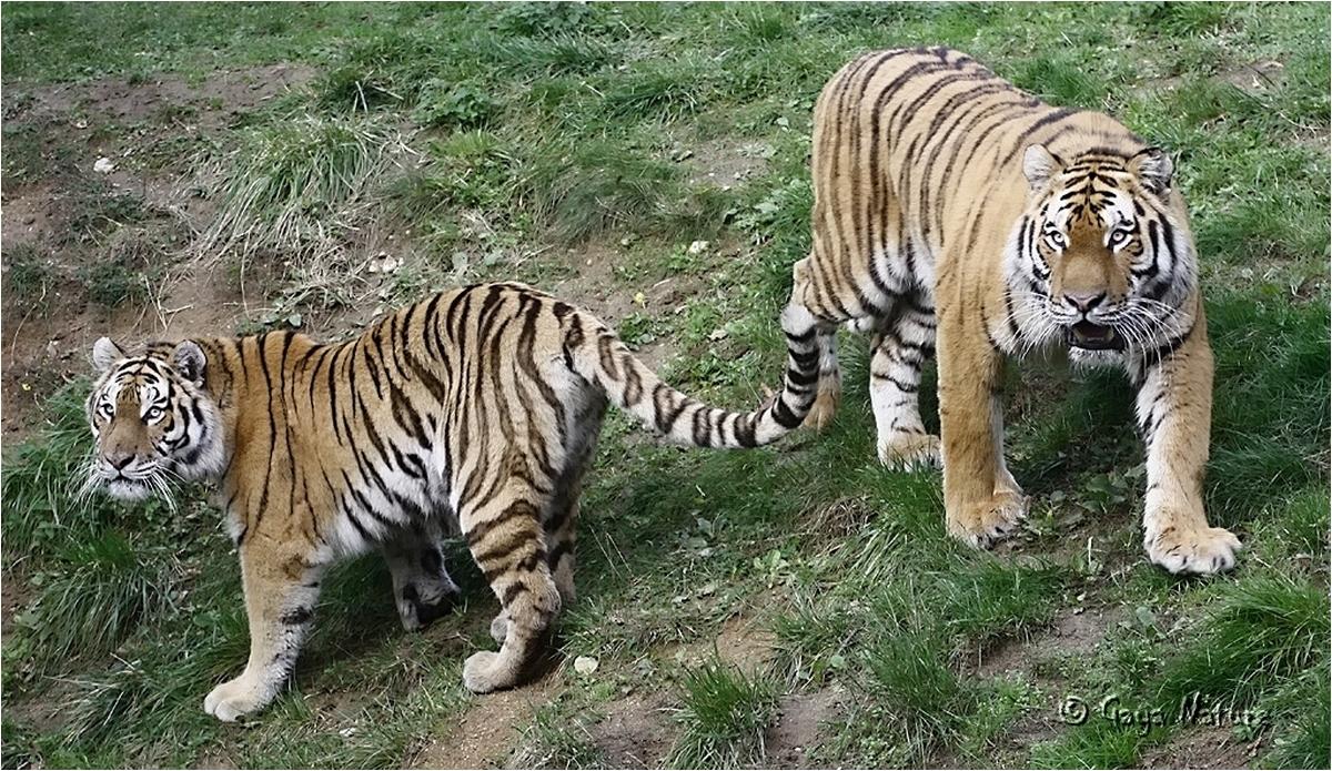 Tigres de l'Amour....quel beau nom