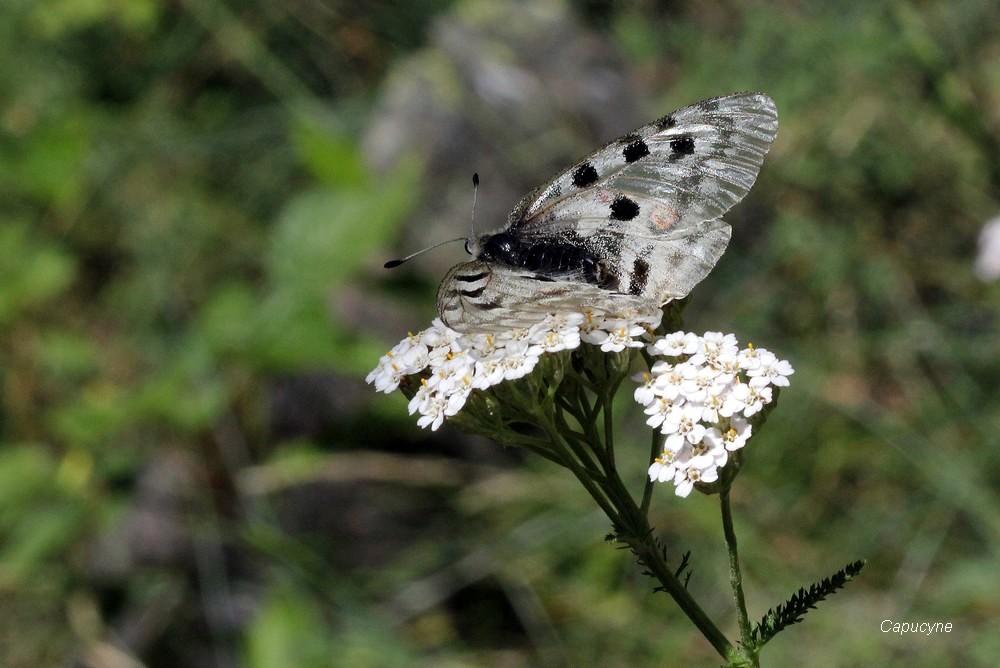 Juillet dans le Champsaur : 2- la folie papillonnante (suite)
