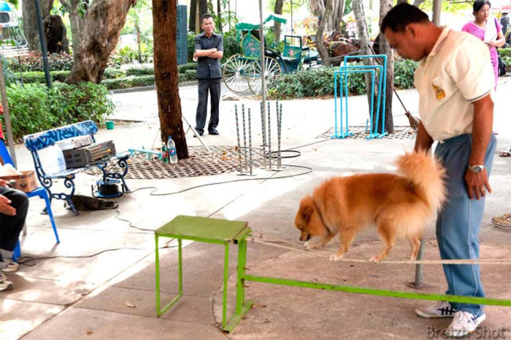 Dusit, un zoo au coeur de Bangkok - Le numéro d'équilibriste du chien