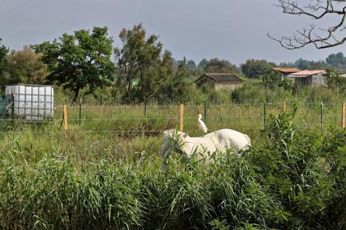 Mes photos - Manade Camarguaise près de Aigues-Mortes