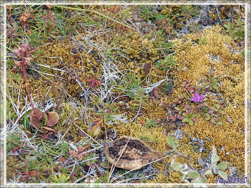 Une petite fleur rose dans la toundra : Rhododendron de Laponie, Lapland Rosebay, Qijjuttaaqpait tipilitt (Rhododendron lapponicum) - Ferguson Lake ou Tasersuatsiaq - Kangerlussuaq - Groenland