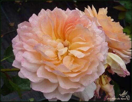 Rose de Gerberoy
