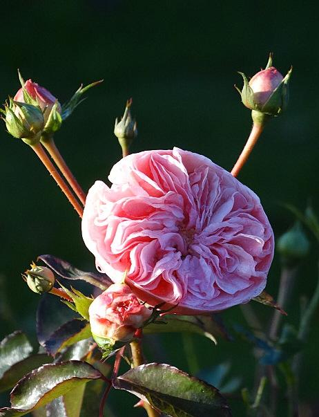 Roses du 30 novembre