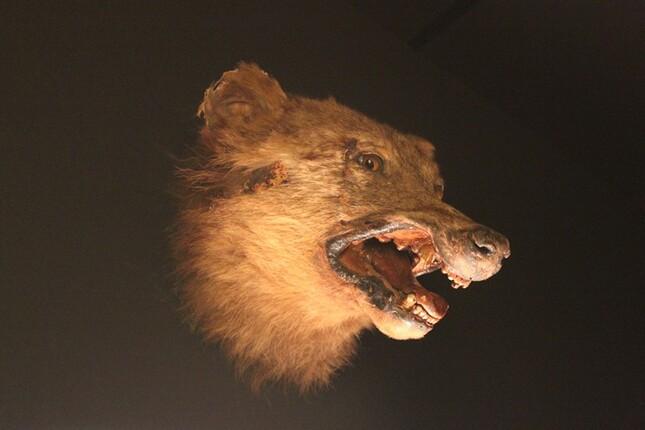 769 - Une histoire de Loup !