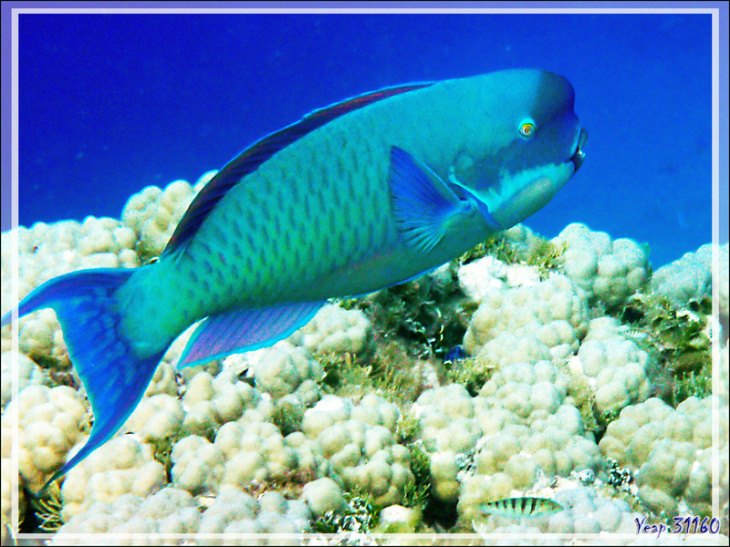 Poisson-perroquet grand bleu, Steephead parrotfish (Chlorurus microrhinos) forme mâle - Atoll de Fakarava - Tuamotu - Polynésie française