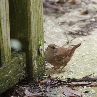 Portrait d'oiseau : le troglodyte mignon...