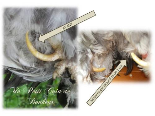 ergot de coq nain - Plumage - Poules Soies