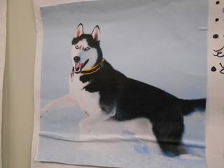 Exposé sur les huskies