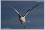 Mouette rieuse)