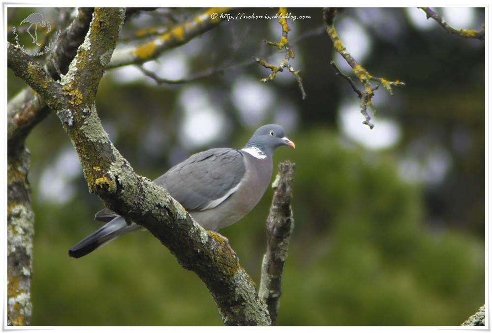 Pigeon ramier - Columba palumbus