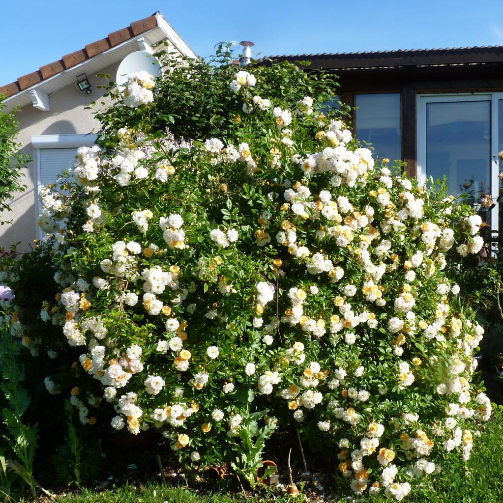 des roses  à foison