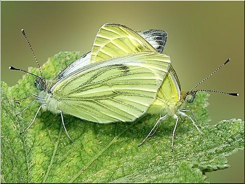 accouplement-de-papilons-pieride-du-chou