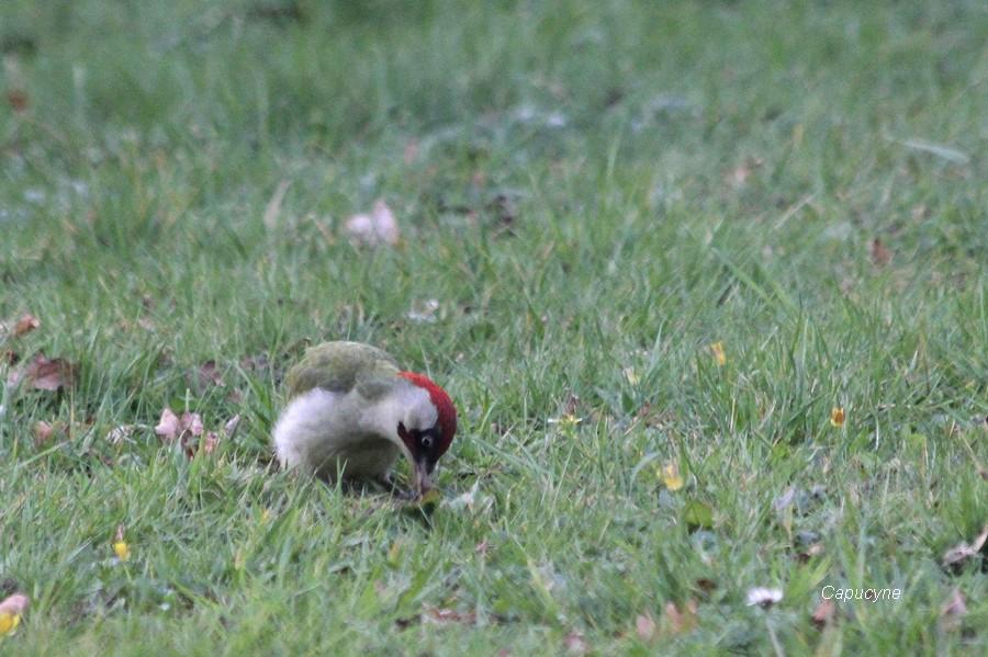 Messire Pivert dans le jardin