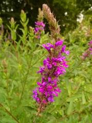 Salicaire commune fleur